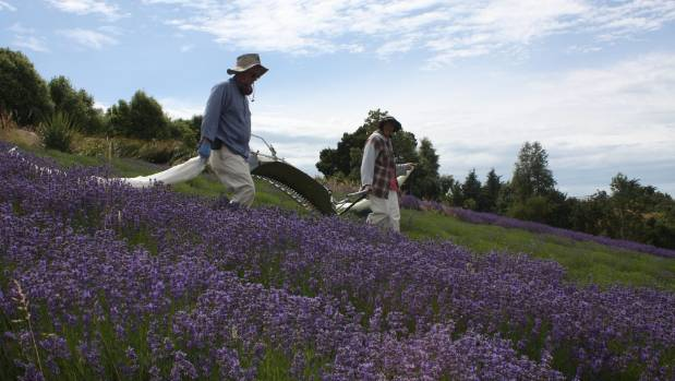 Farmers harvest lavender near Geraldine. A subdivision is proposed for Orari Station Rd, on the edge of the Geraldine ...