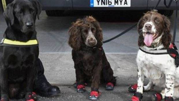 The dogs - in their special heat-protectant booties - all set for work.