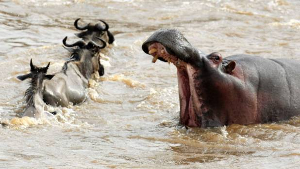 Dead wildebeests even nourish hippos in the river.