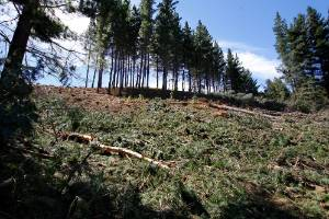WorkSafe New Zealand says many of the woodlots on farmland were planted on steep ground which made harvesting these ...