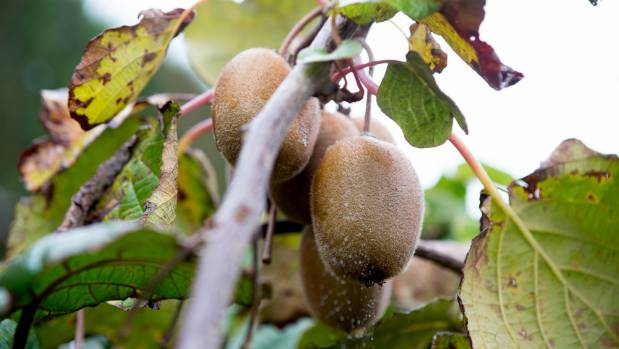 Psa is still present in many areas, but growers have learned to manage it.