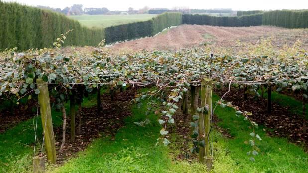 Psa caused hundreds of millions of dollars of damage to kiwifruit orchards.