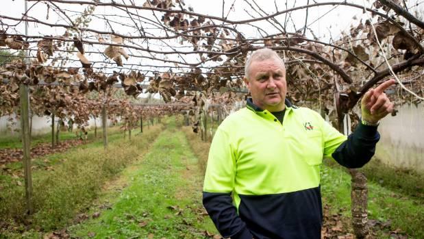 Strathboss grower Bob Burt points out Psa symptoms on a vine.