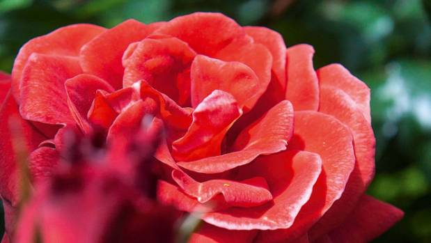 One of Rosy's three favourite roses: 'Colourbreak'.