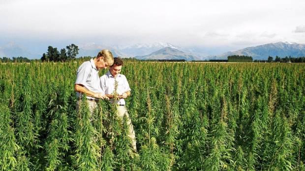 Hemp trials in Canterbury in 2004. Hemp has no or very low levels of THC, marijuana's psychoactive ingredient.