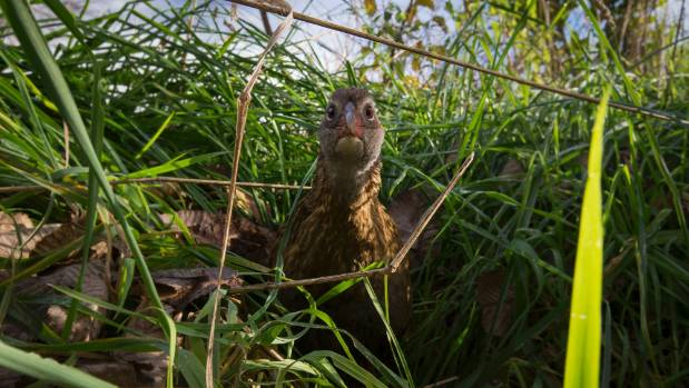 A weka is startled by a camera trap amongst the undergrowth on Roger Beattie's farm.