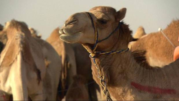 Saudi camel festival keeps traditions alive