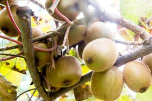 Two orchard sites in Kerikeri have been sprayed with Calypso spray, a potentially harmful substance.