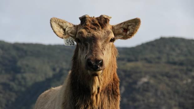 A sire wapiti bull at Connemara.