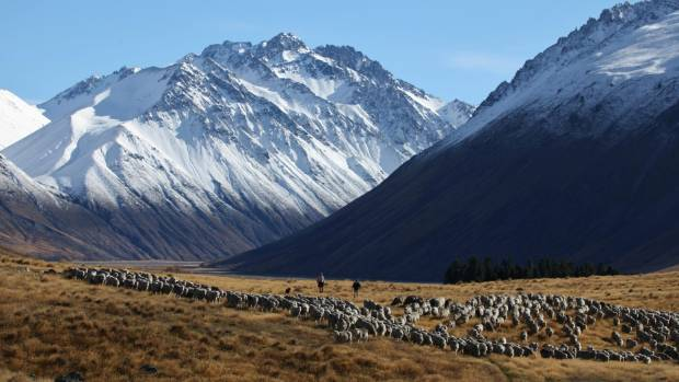 Merinos coming out of the Cass Valley. Traditionally associated with the high country, merinos may one day occupy ...