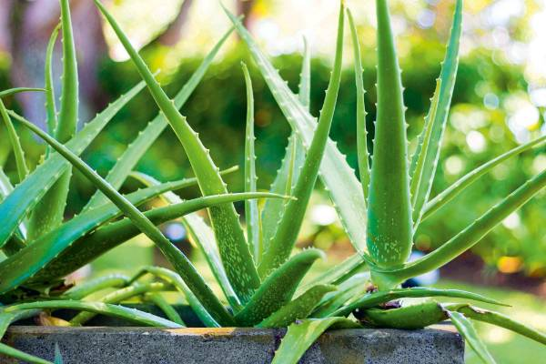 Aloe vera is a soothing herb that's great for treating cuts and burns. Separate offsets that have formed at the base of ...