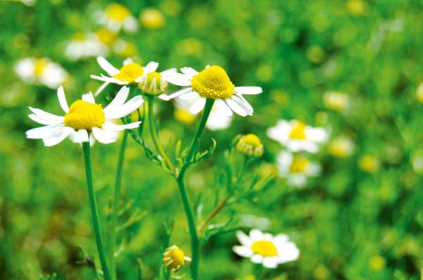 German chamomile, an annual, is the medicinal herb for making teas; Roman chamomile (Chamaemelum nobile) is the ...