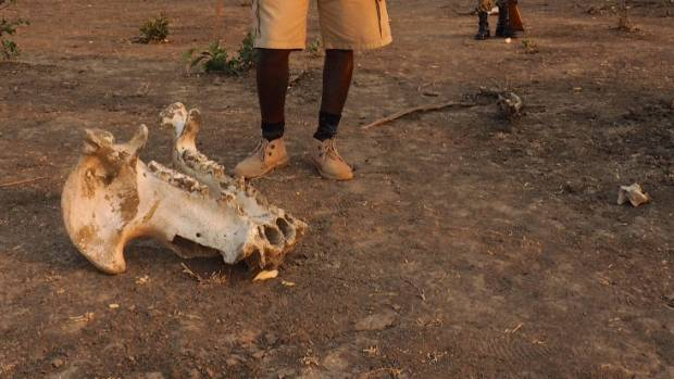 A hippo skull is just one point of interest on the walking safari.