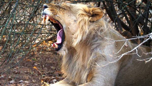 A lion yawns, displaying his fearsome teeth.