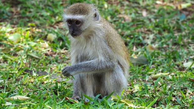 The monkeys are cute - except when they steal your unguarded dinner