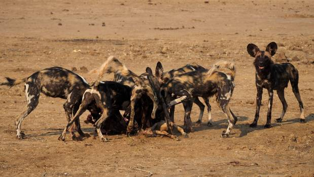 One wild dog watches us as we watch the pack eat their prey