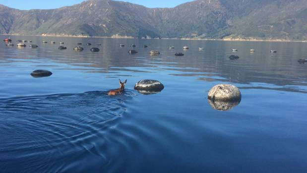 Clearwater Mussels owner John Young spotted this deer taking a swim through one of his mussel farms, on the western side ...