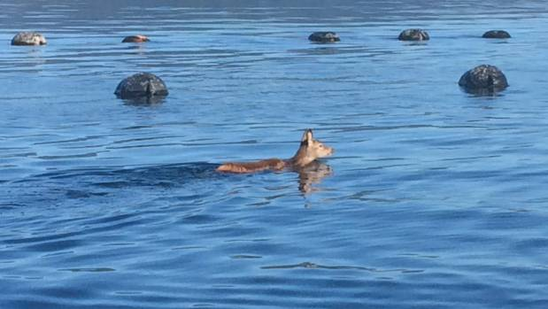 The picture of the swimming deer attracted a lot of comments on the Aquaculture NZ Facebook page.