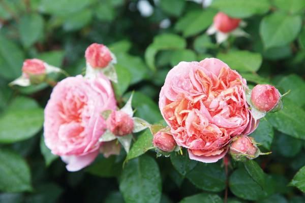Rosa 'Duchess of Cornwall'.