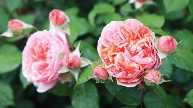 Anne also planted the Rosa 'Duchess of Cornwall'.