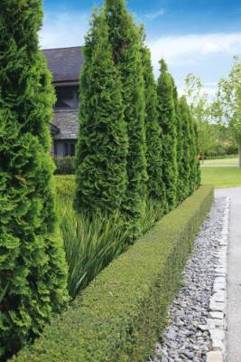A row of evergreen Thuja 'Smaragd' provides height and structure to the garden.