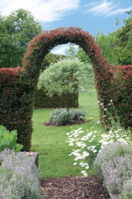 The eugenia hedge has been clipped to form an archway that frames the view  to a weeping pear.
