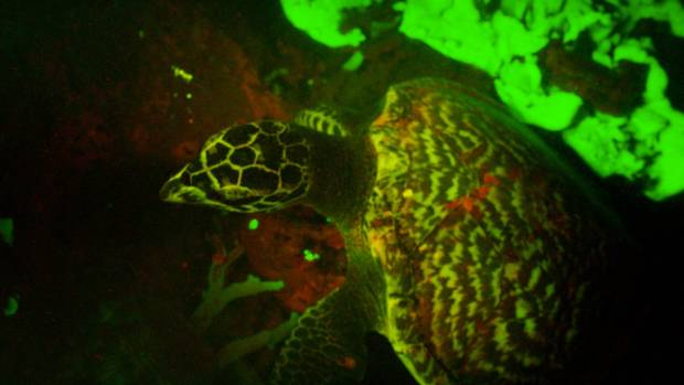 The first image of a biofluorescent hawksbill turtle.