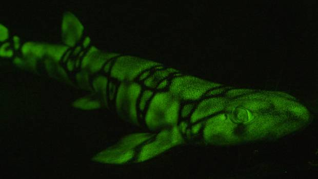 A biofluorescent shark filmed by Dr David Gruber.