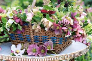 Hellebores, commonly known as winter roses, flower in speckled shades of pink, lime, maroon and white, with hybrids ...