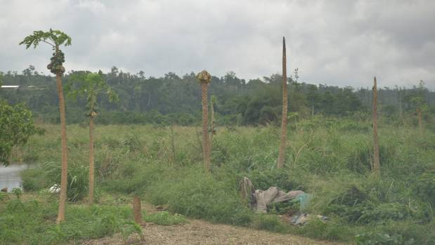 Papaya trees damages by the winds and rains from successive cyclones means fruit is rotting on the trees.