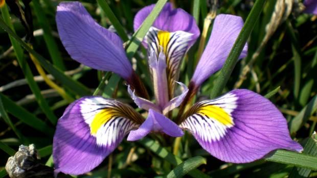 The Algerian iris, Iris unguicularis, aka Iris stylosa.