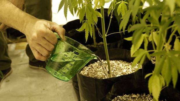 In Uruguay, adults can grow up to six cannabis plants at home.