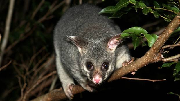 More than 1100 possums were killed at a fundraiser for a south Auckland primary school.