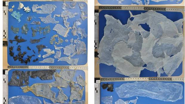 Some of the samples of plastic found in turtles stomachs.