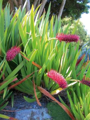8. Xeronema callistemon: Looking rather like a giant hairy red caterpillar sniffing the wind, the stunning curving ...