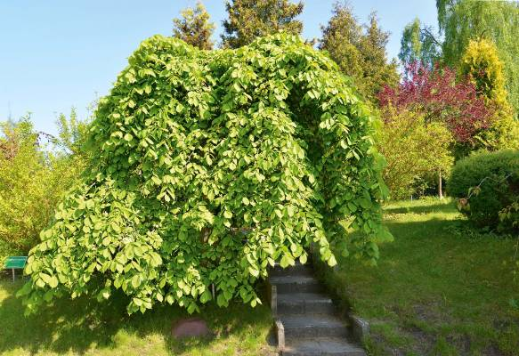 3. Weeping elm Ulmus glabra 'Camperdownii': About 400 people were reported to have had afternoon tea together under the ...