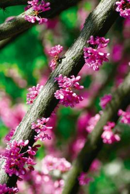 2. Cercis canadensis: Ask a plantsman to recommend a fabulous tree for a small space and it won't be long before he or ...