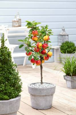 1. Apple tree: Judicious pruning can make fruit trees such as the apple perfect for those with small spaces who like to ...