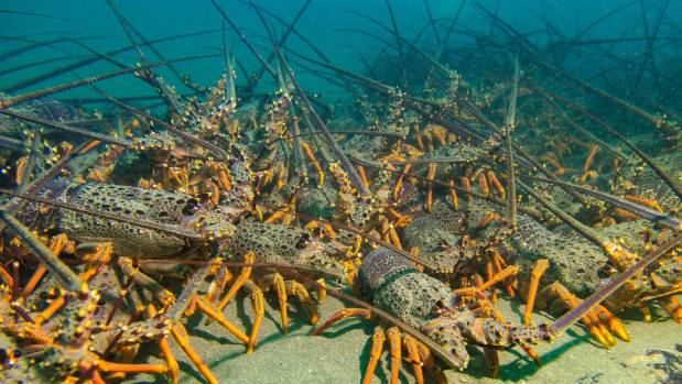 Deepwater spawning of female crayfish in the Taputeranga Marine Reserve. Females on the edge of the reserve release ...