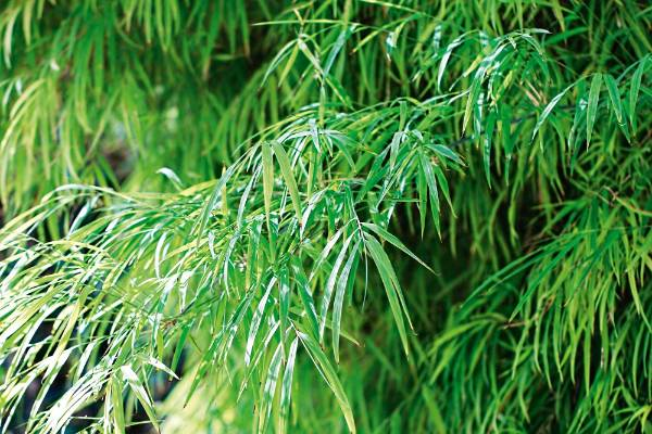 7. Fairy bamboo: Choosing a bamboo over a tree or shrub is in itself a statement, for the long, graceful stems of this ...