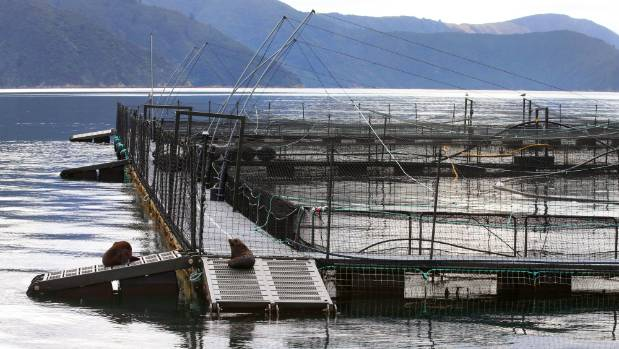 A New Zealand King Salmon farm in the Marlborough Sounds. (File photo)