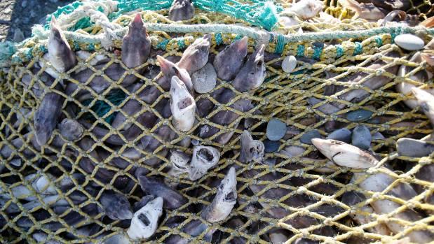 investigation after hundreds of kilos of fish wash up in net on