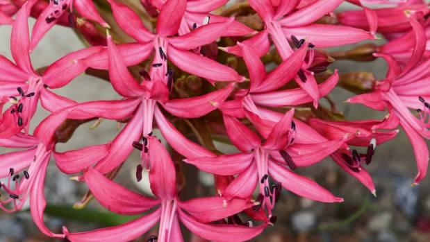 Brunsvigia gregaria.