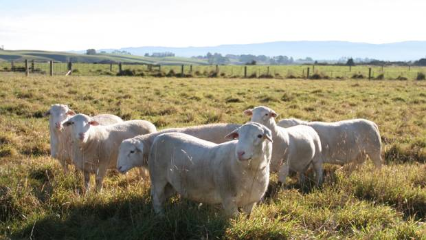 These 11-month-old Rivermoor White Dorper Stud ram lambs are bred as terminal sires for hogget mating.