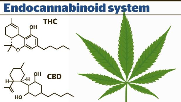 Two of the most studied and well-known compounds in cannabis. THC makes you feel high, while CBD doesn't.