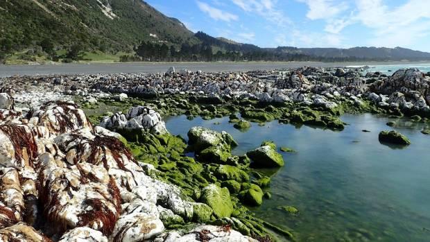 Green algae shows the new tidal levels on the Kaikoura coast.