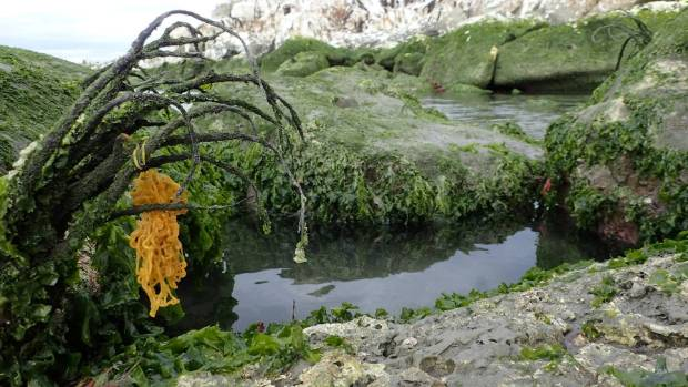 A dying kelp plant.