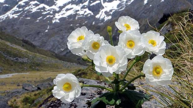 A Ranunculus Lyallii, commonly known as a Mount Cook lily, is a well-known alpine plant. It is actually a buttercup.