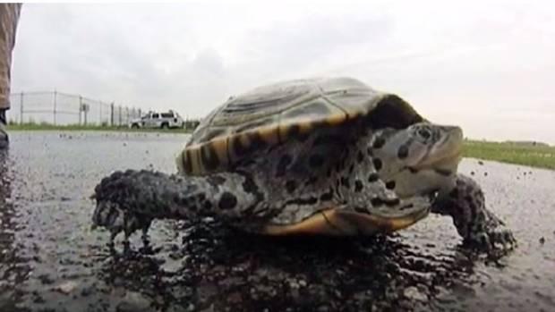 Last year, nearly 500 turtles were captured after wandering onto the airfield.