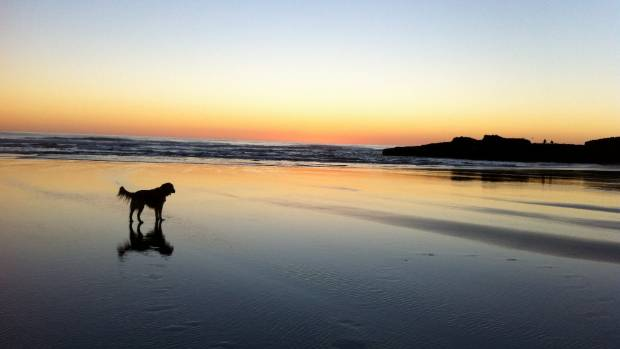 Toby the dog - on Auckland's Karekare beach at sunset.